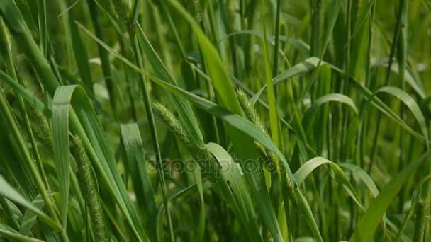 Zelená tráva zblízka v létě krásné pozadí. Statická kamera HD video záznam 1920 x 1080