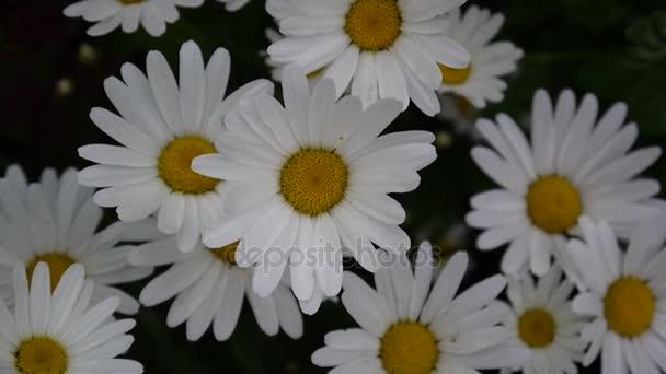 Roste na záhonu video záběry zblízka květů sedmikrásky.