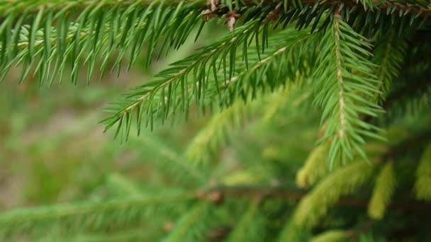 A fiatal zöld fenyő fa ága a könnyű szél szél mozgó. Vértes.