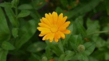 Calendula flower, medicinal plant. Calendula officinalis. Video footage.