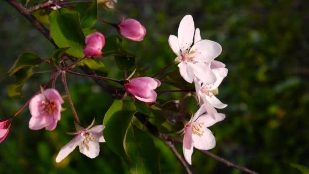 Gyönyörű rózsaszín virágzó almafa szél a tavasz a kertben. Statikus kamera.