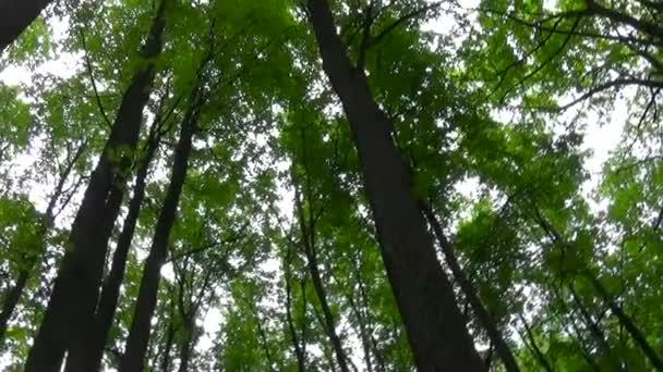 Vrcholky stromů v lese pohyb kamery kamery. Panorama s stadicam.
