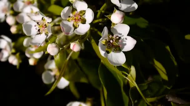 Krásné rozkvetlé jabloně na větru jaro v zahradě. Statické kamery.