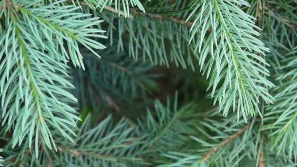 Young green fir tree branch moving in the light wind breeze. Closeup. Natural decorative frame. Footage shooting static camera.