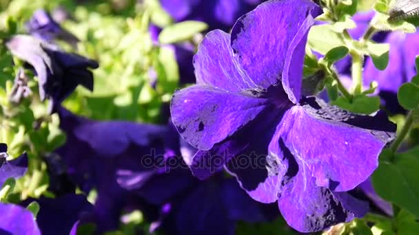 Purple petunias swaying in the breeze