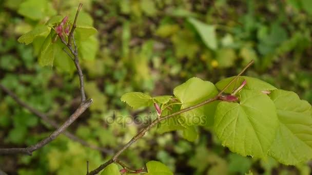 grüne, frische Blätter Linde tilia natürlichen Hintergrund Wald im Frühjahr. Statische Kamera. 1080 voll hd videomaterial.