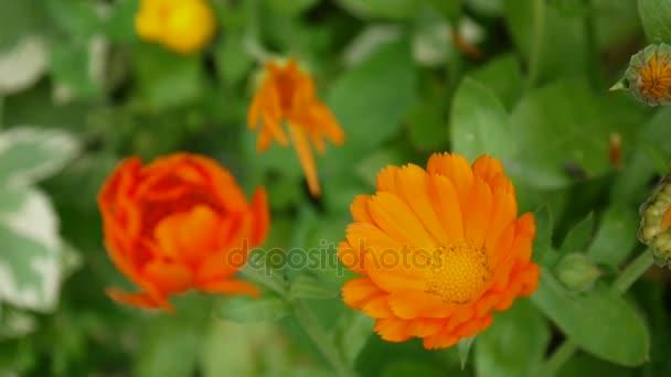 Calendula Flower Medicinal Plant Calendula Officinalis Video