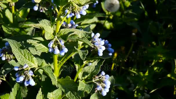 Lékařské byliny společné kostival. Symphytum officinale flower na divoké louce. Záběry natáčení statické kamery