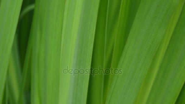 Zöld fű makró gyönyörű nyári háttér. HD videó felvétel 1920 x 1080 statikus kamera.