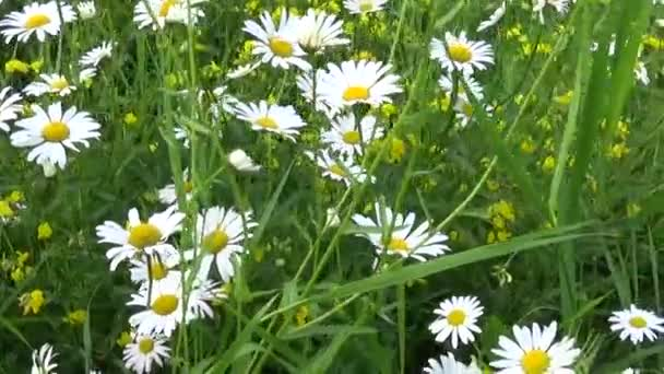 Daisies Growing on the Flowerbed. HD video footage motion camera.