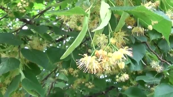 Linden listy a květy se vítr vanoucí zblízka. Lípa