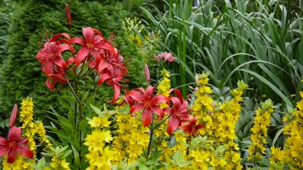 Piros Lilium bulbiferum részletek közeli Hd felvétel - aromás lily flower videóinak.