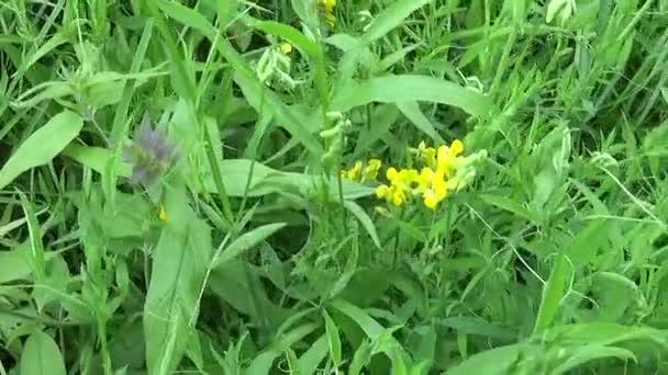 Wildblumen Holz Kuh. melampyrum nemorosum auf der Sommerwiese