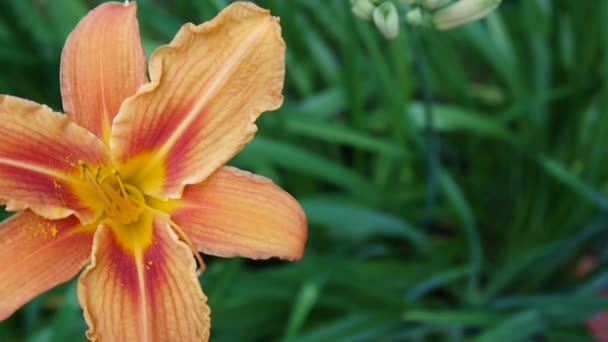 Narancssárga növény Lilium bulbiferum részletek közeli Hd felvétel - lágyszárú tiger-liliom virág videóinak.