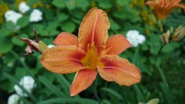Narancssárga növény Lilium bulbiferum részletek közeli Hd felvétel - lágyszárú tiger-liliom virág videóinak