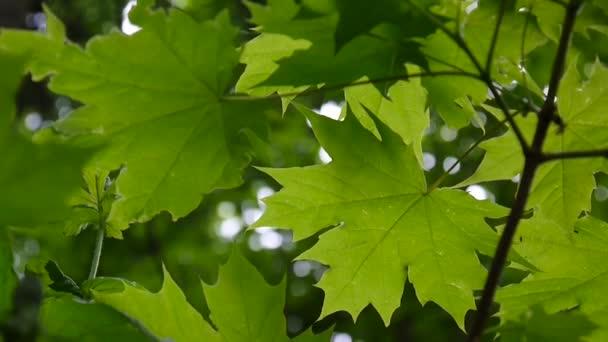 grüne Blätter im Frühling. schöner junger grüner Ahornbaum, der im Wind schwingt.