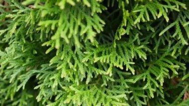 White cedar thuja occidentalis stock video andrew282 184283702 white cedar thuja occidentalis branches hd video footage shooting static camera mightylinksfo Gallery