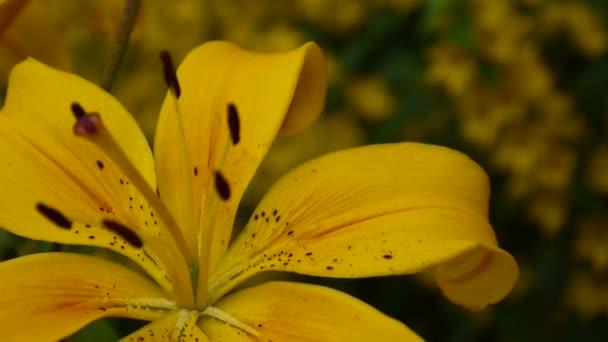 Lilium bulbiferum részletek közeli Hd felvétel - aromás lily flower videóinak növény.