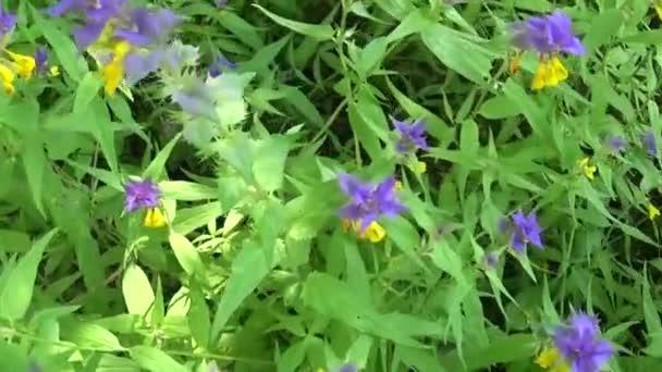 Divoké květy dřevo kráva. Černýš hajní v letní louka