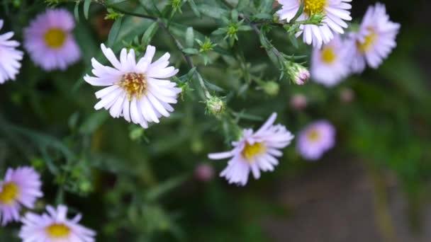 Aster trvalky. Fialový květ na záhonu.