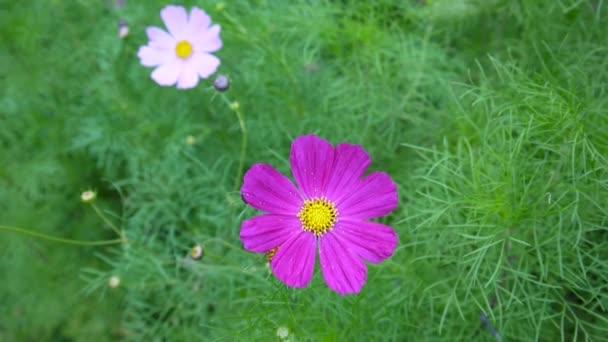 Krásné cosmos květiny na záhonu. Detailní záběr