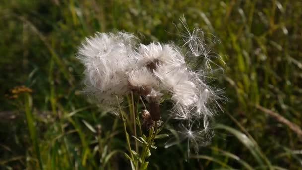 Wind reißt sich trockene Samen von Cirsium Arvense. Video