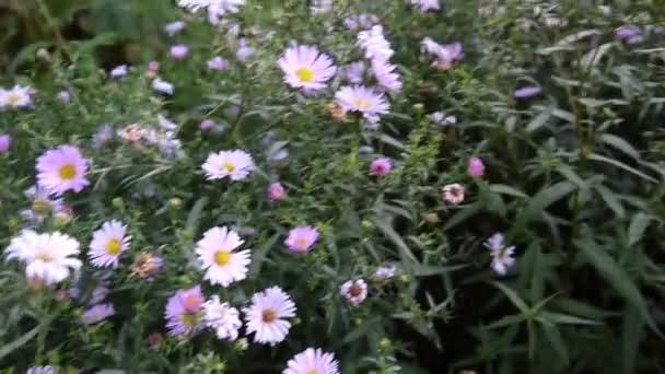Aster Vivace Fleur Pourpre Sur Le Parterre De Fleurs Video Tusia
