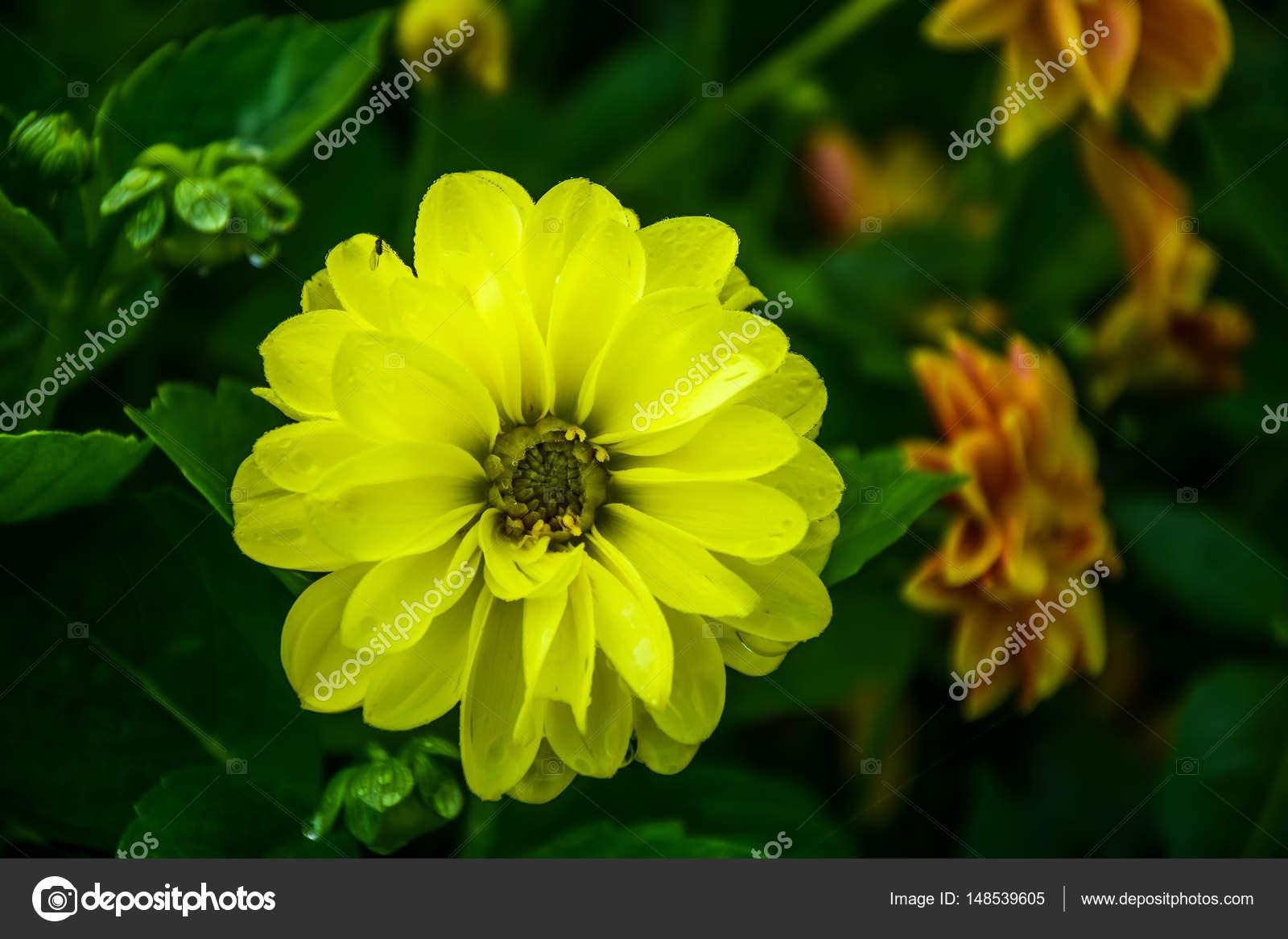 Yellow Dahlia Flower With Dew Drops Stock Photo Goldquest 148539605