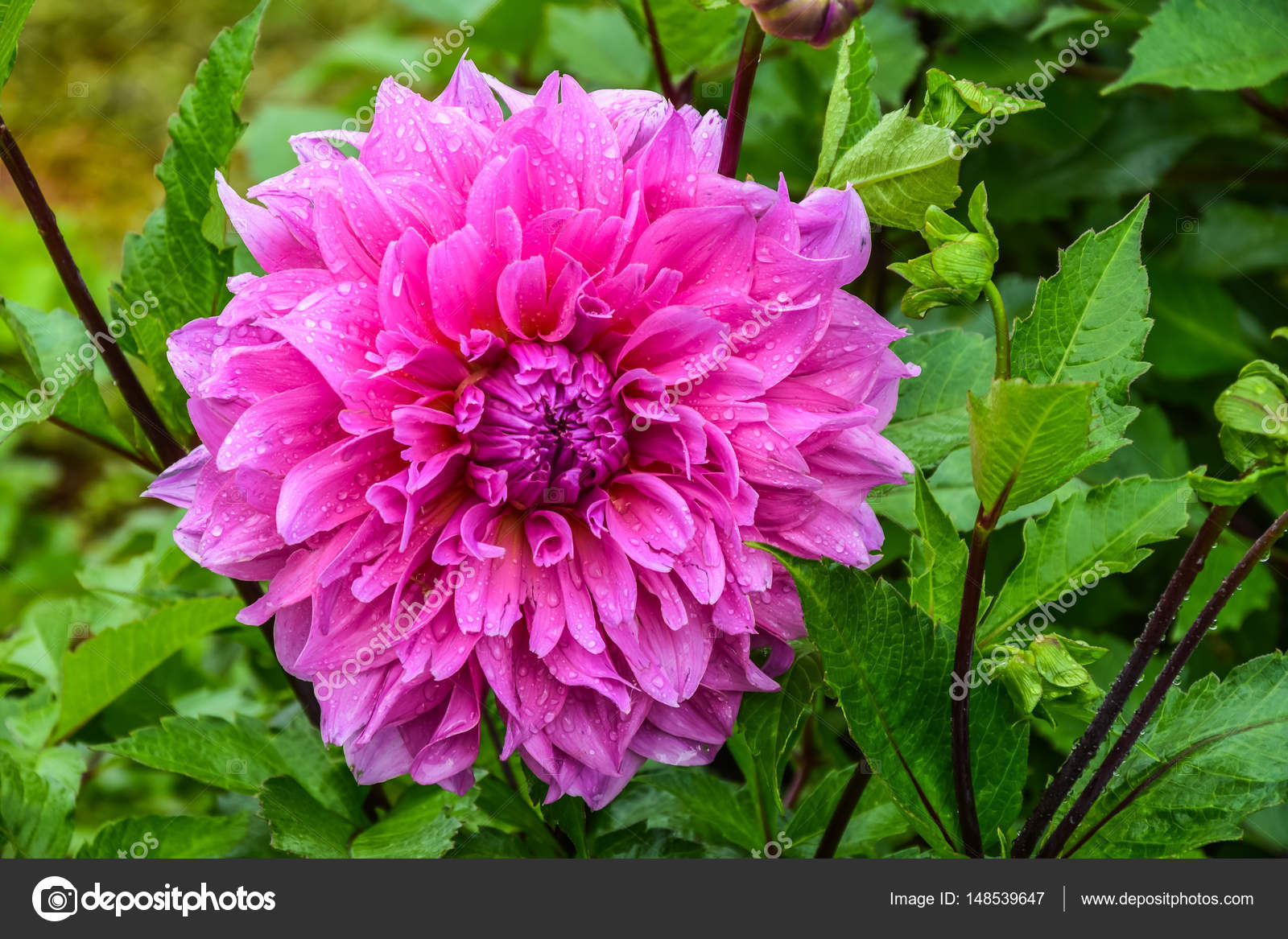 Pink dahlia flower with dew drops stock photo goldquest 148539647 close up pink dahlia flower with dew drops in public park photo by goldquest izmirmasajfo