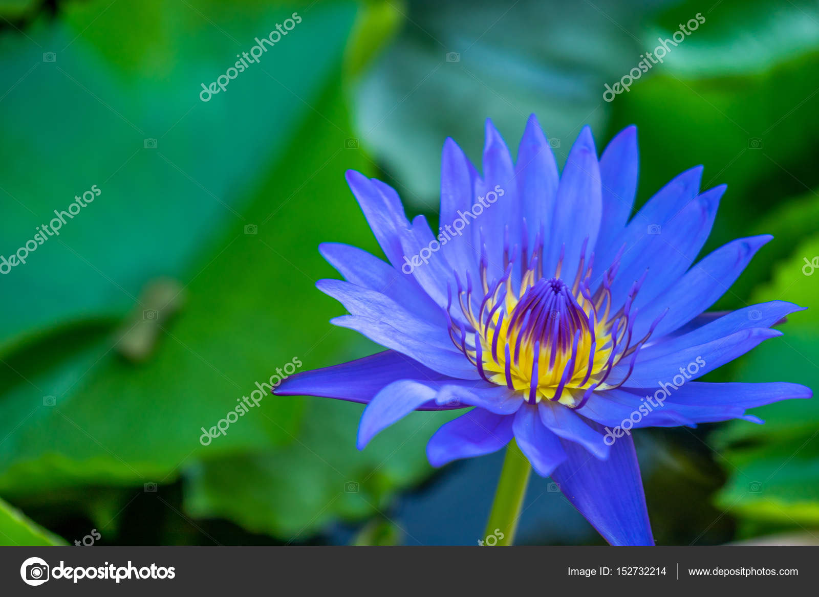 Fleur de lotus bleu dans les marais \u2014 Photographie goldquest