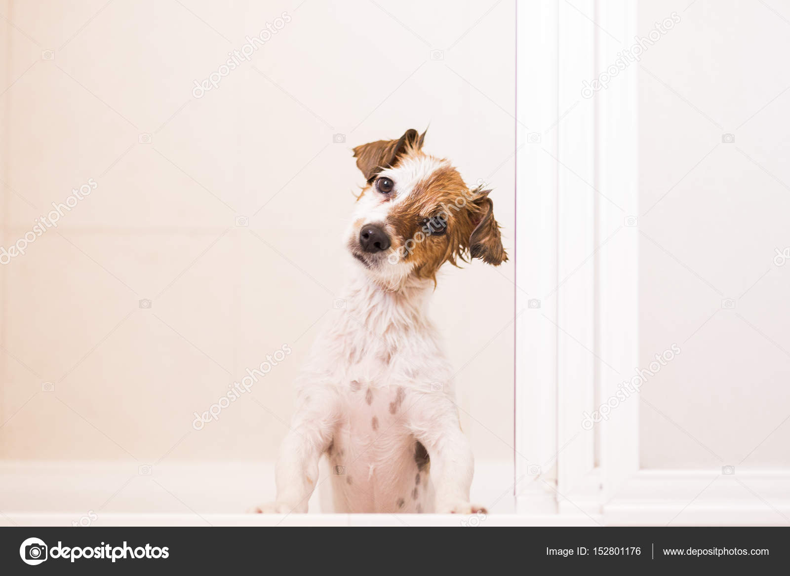 Schöne Kleine Hund Hübsch Nass In Badewanne In Die Kamera Schaut