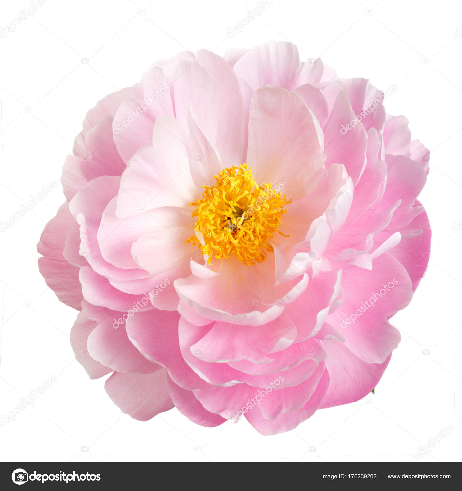 Pink Peony Flower Yellow Stamens Isolated White Background Stock