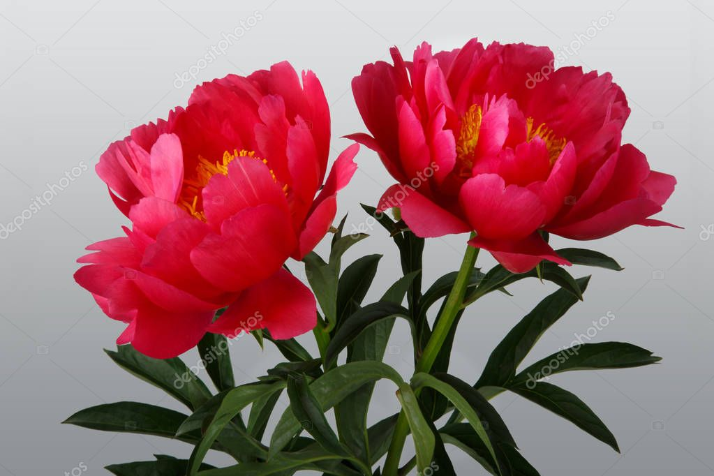 Bouquet of red peonies  on gray background
