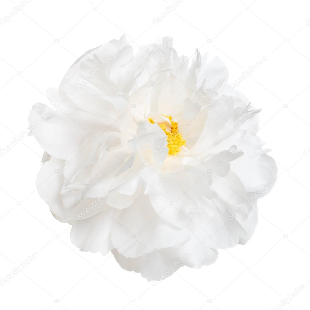 white peony flower with yellow stamens isolated on white background.