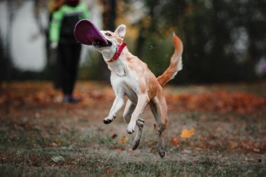 Mixed breed red dog catching flying disc on autumn background