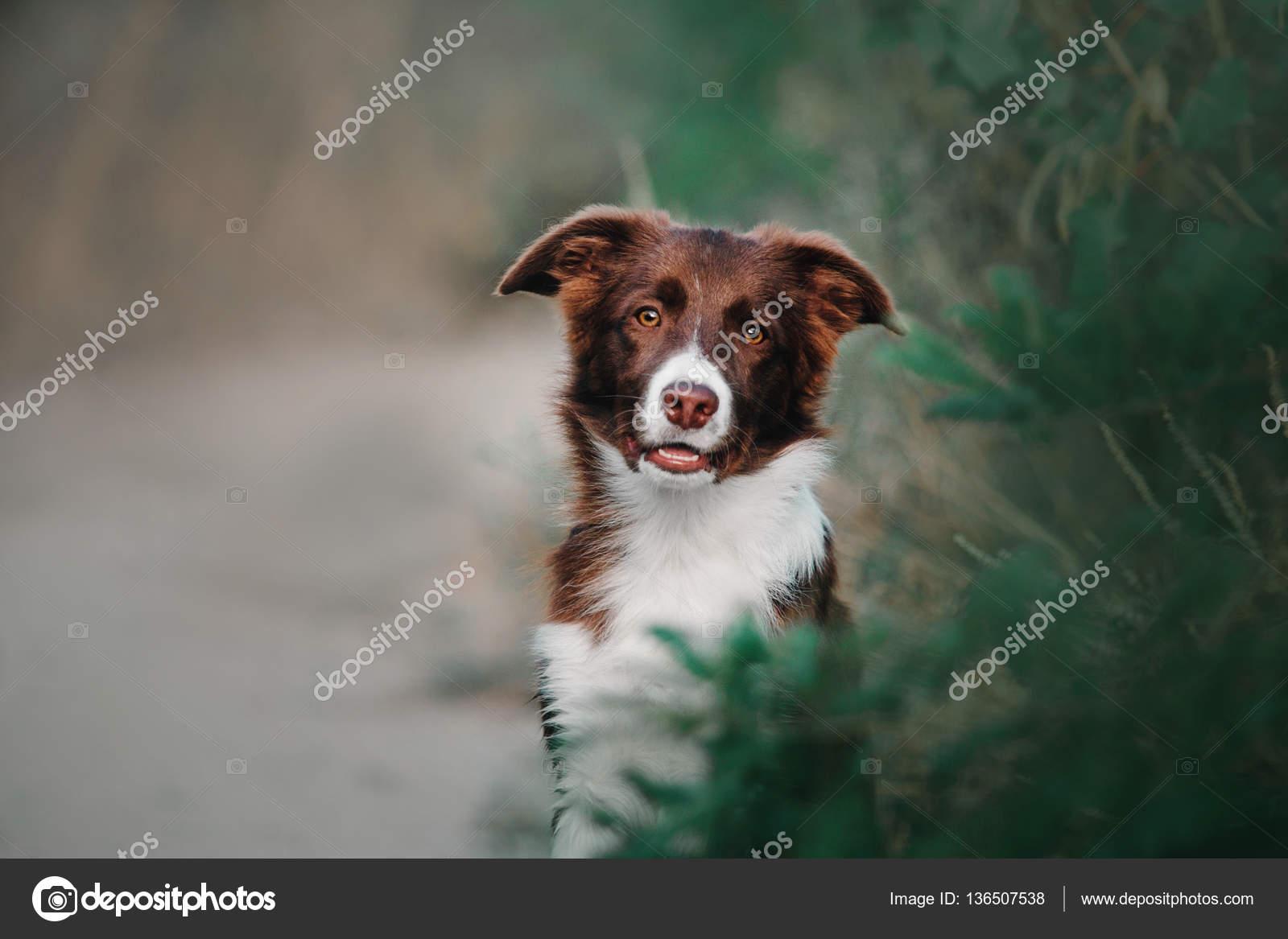 Border Collie Puppy Portrait Outdoor Stock Photo C Oov 136507538