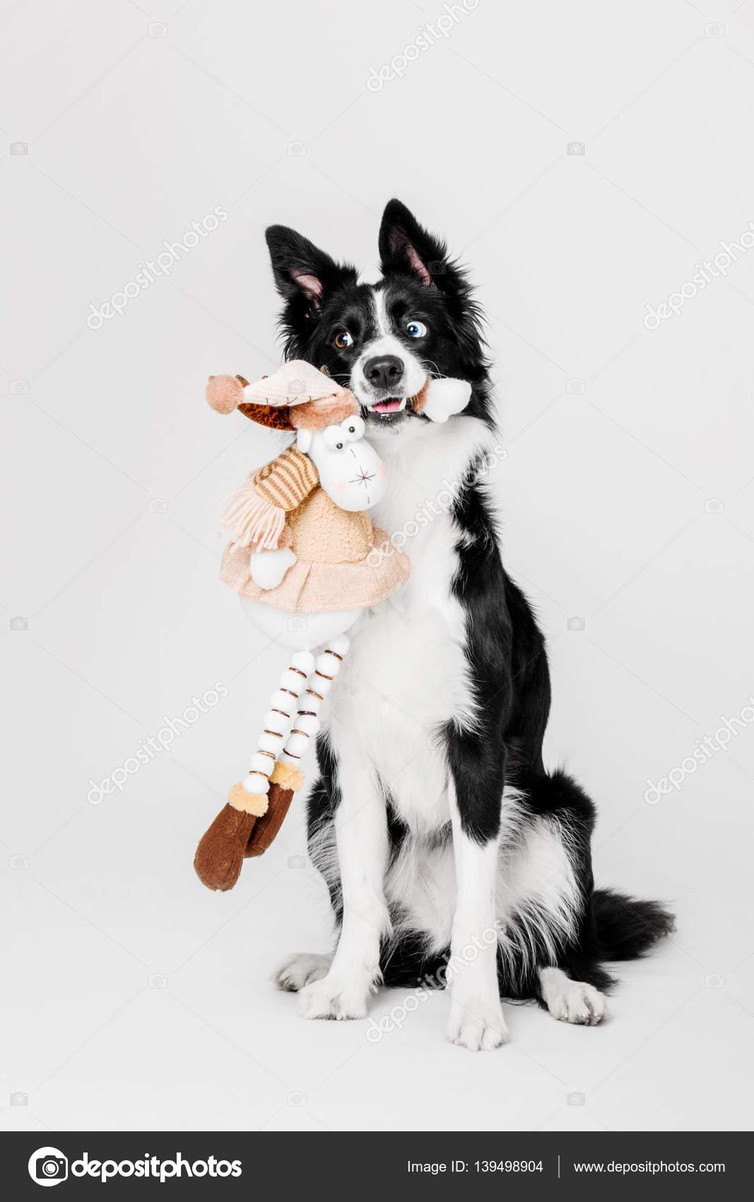 border collie chien assis et tenant un jouet en peluche dans sa bouche sur fond blanc. Black Bedroom Furniture Sets. Home Design Ideas