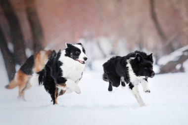 Two Border Collie dogs running in the snow