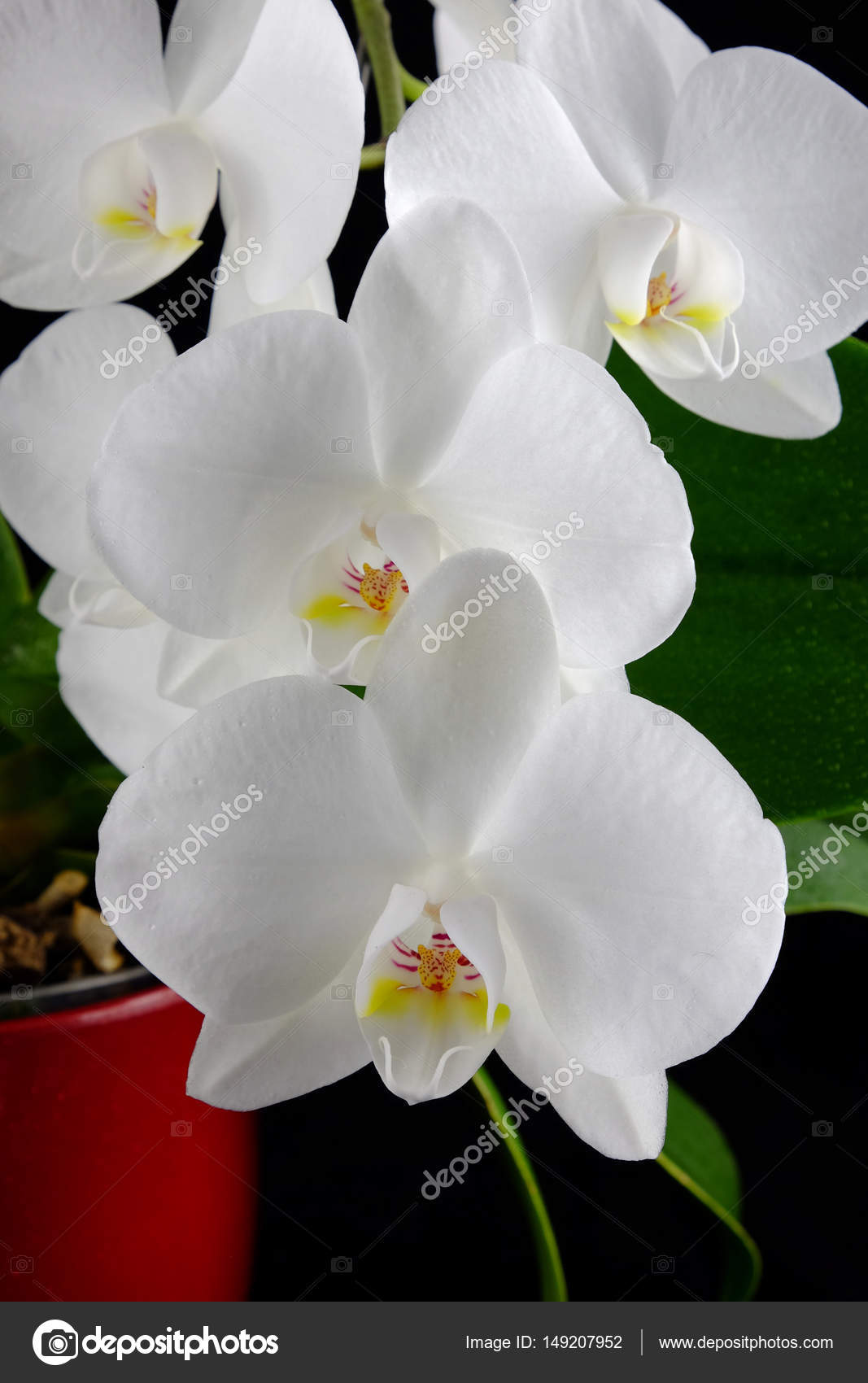 Orchid Phalaenopsis With White Flowers On Black Background Stock