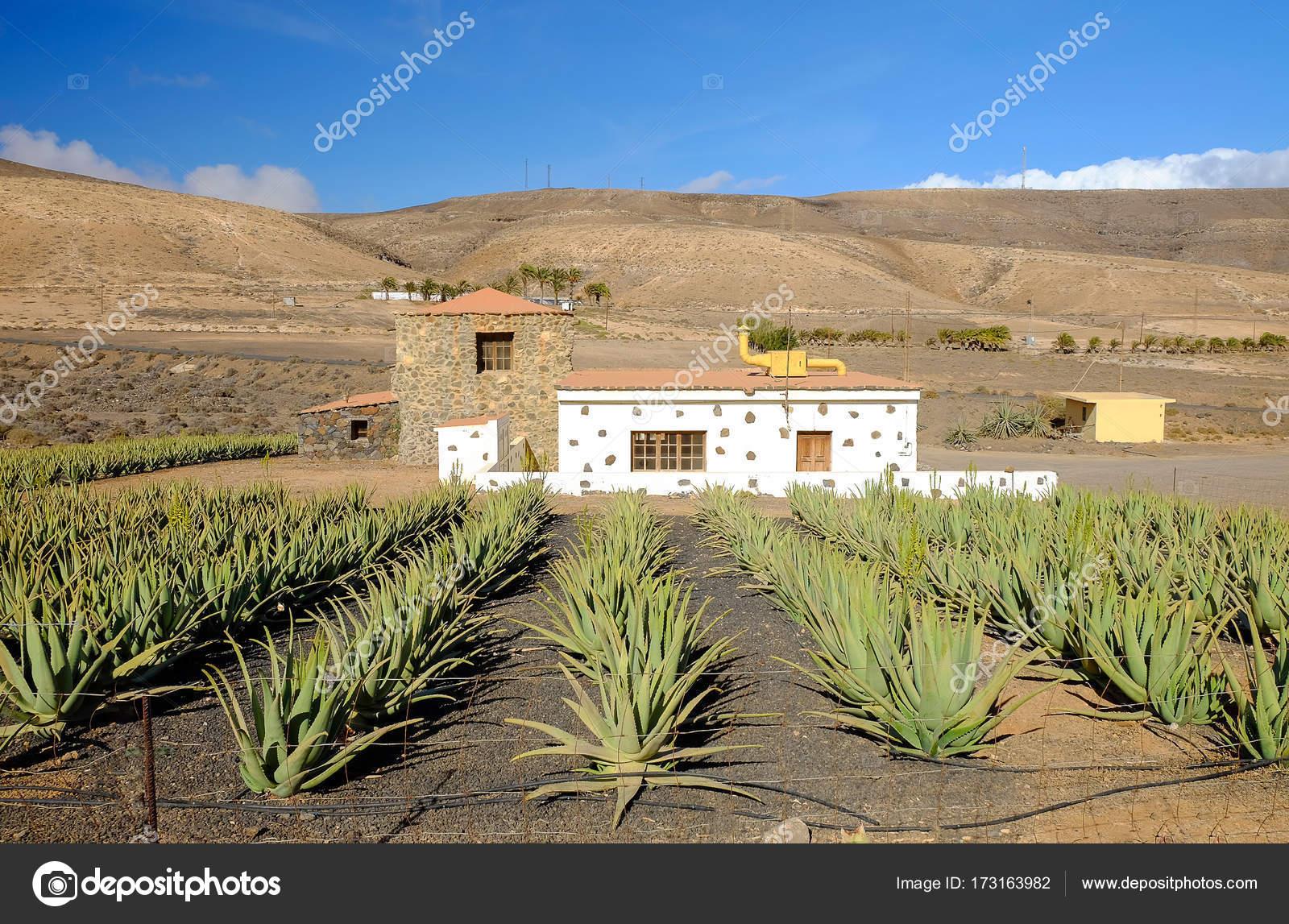 Aloe vera fattoria su fuerteventura isole canarie foto for Piani di fattoria georgiana