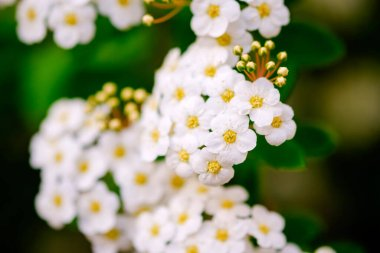 Beautiful white blossoms of alyssum in spring also known as sweet alison blooming.