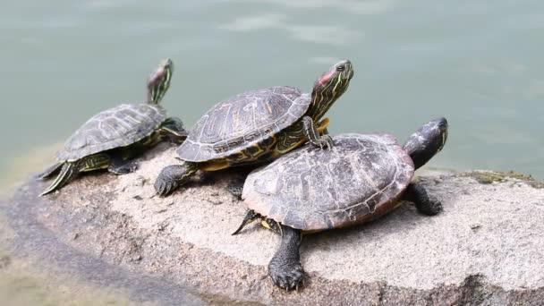 Három teknősök, napozás