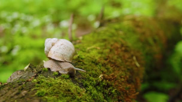 Snail crawling over moss in the forest.