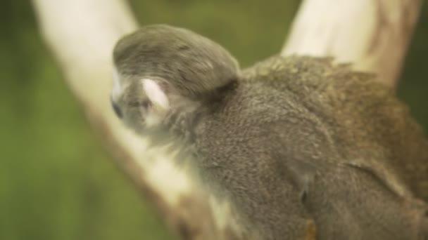Közönséges mókusmajom Saimiri sciureus ül egy fán, és körülnéz.