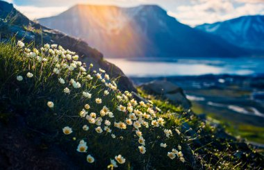 norway landscape nature of the mountains of Spitzbergen Longyearbyen Svalbard on a polar day with arctic flowers in the sunset summer