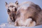 Krajina s divokých sobů. Zimní Špicberky. s masivní parohy ve sněhu, Norsko. Divoké scény z přírody Špicberk