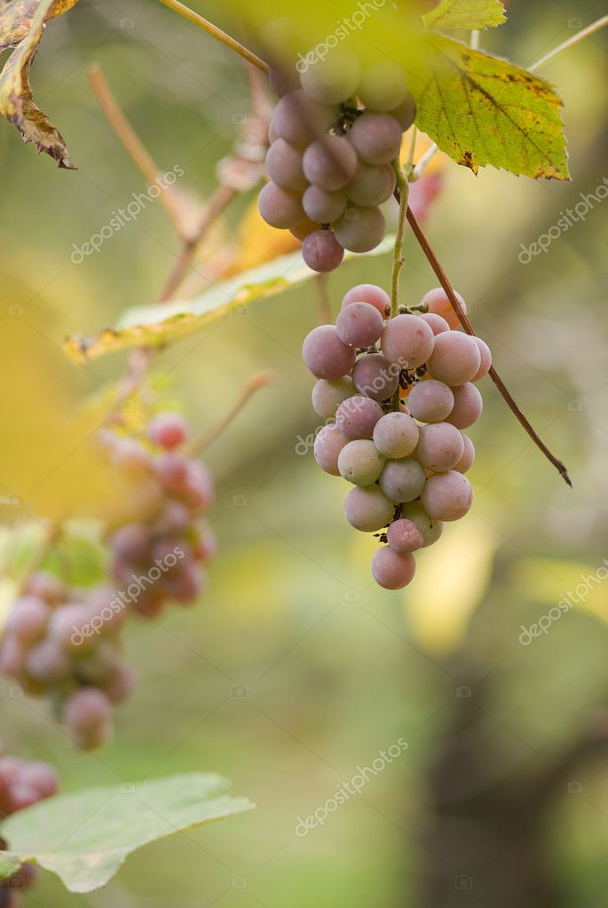 Bunch of ripe grapes on the vine