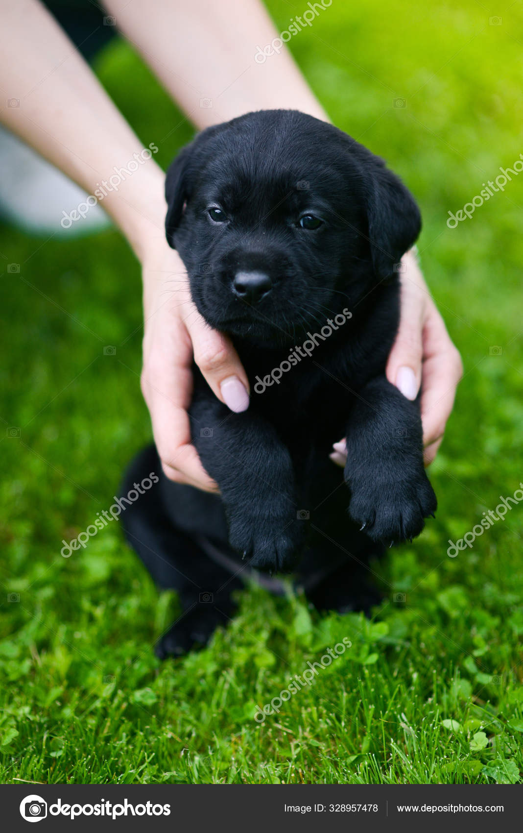 Little Black Dog Breed Labrador Retriever Hands Man Labrador Puppy Stock Photo C Yarunivphoto 328957478