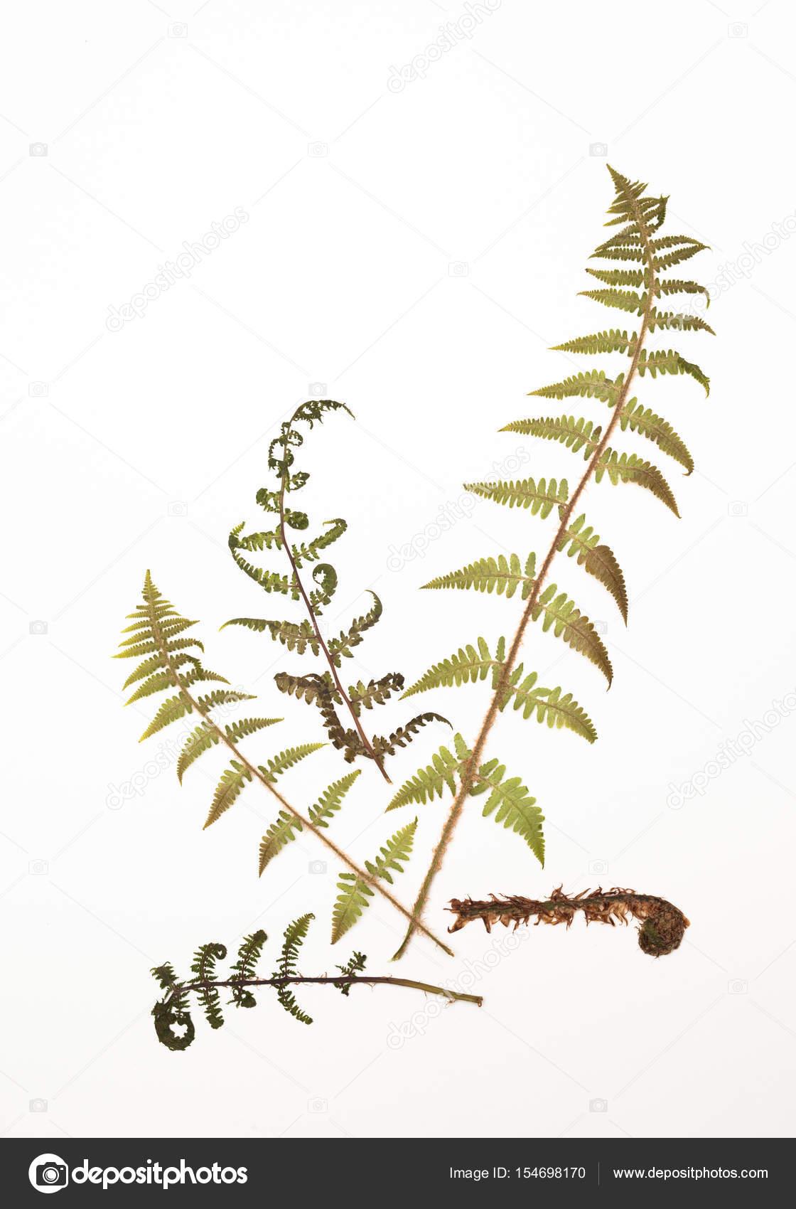 Herbarium Blätter getrockneter farn blätter für ein herbarium auf weiß stockfoto