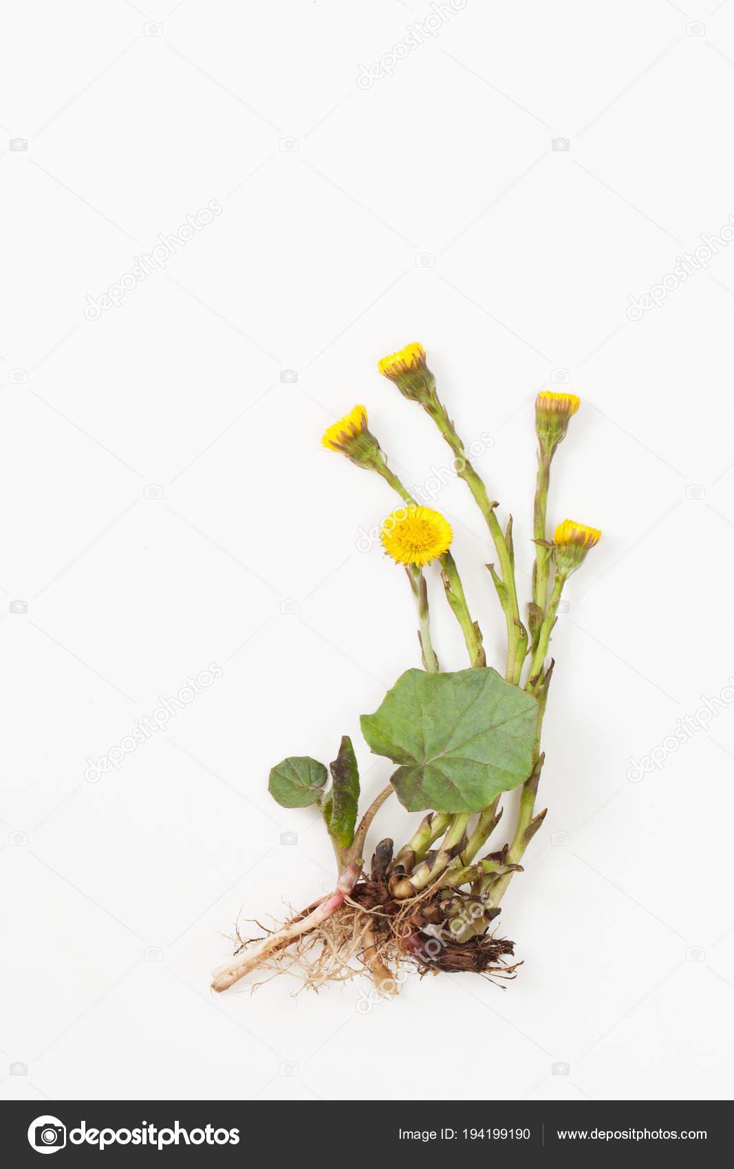 Tusilago hojas y raíz en fondo blanco — Foto de stock © ekramar ...